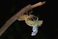 IMG_cicada molting