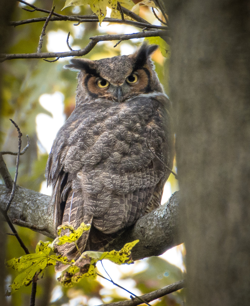 Great Horned Owl on Halloween evening.