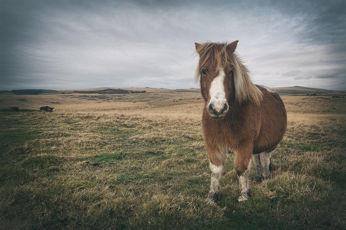 Pony on the moor