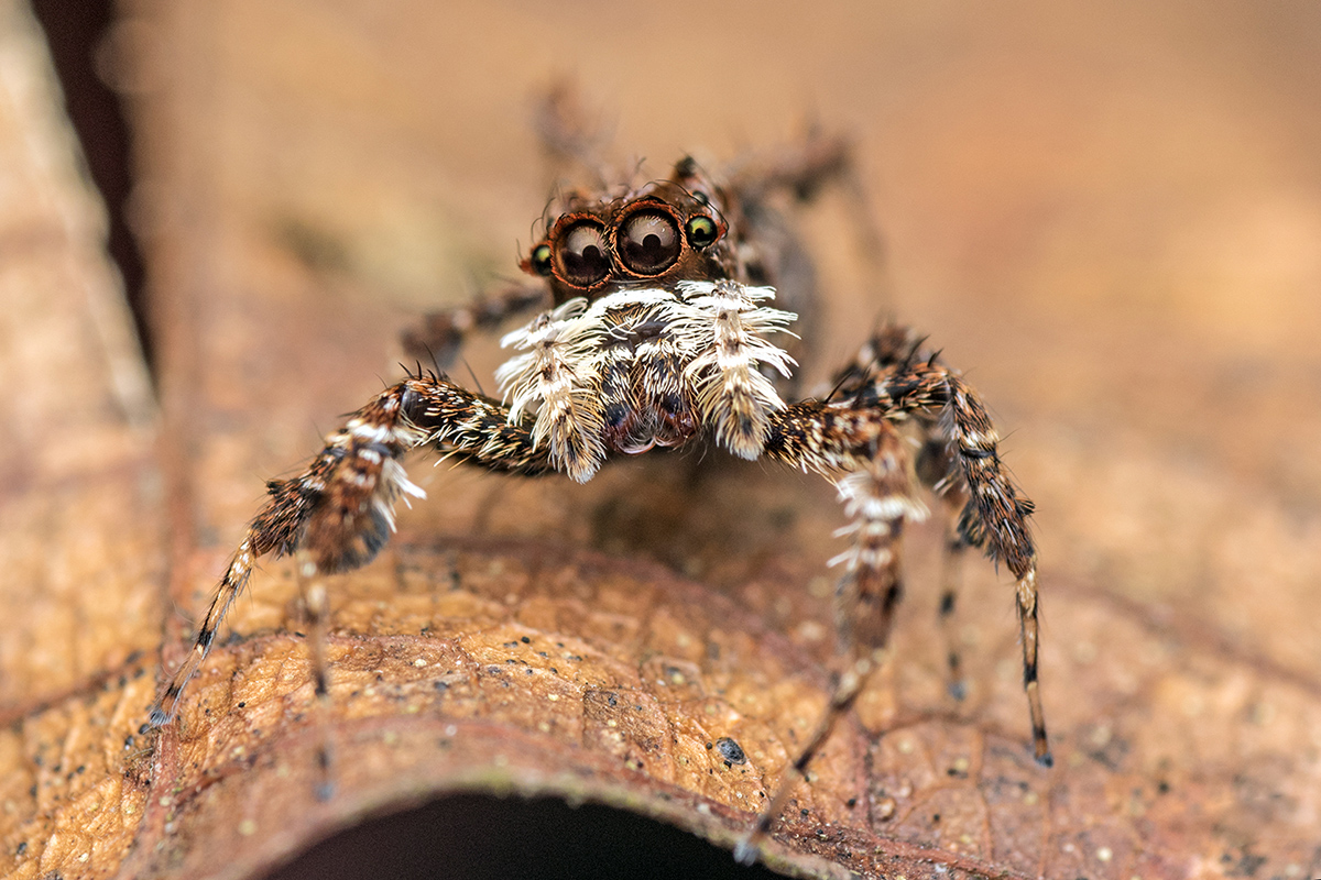Portia Jumping Spider- The Most Intelligent Spider In The World!