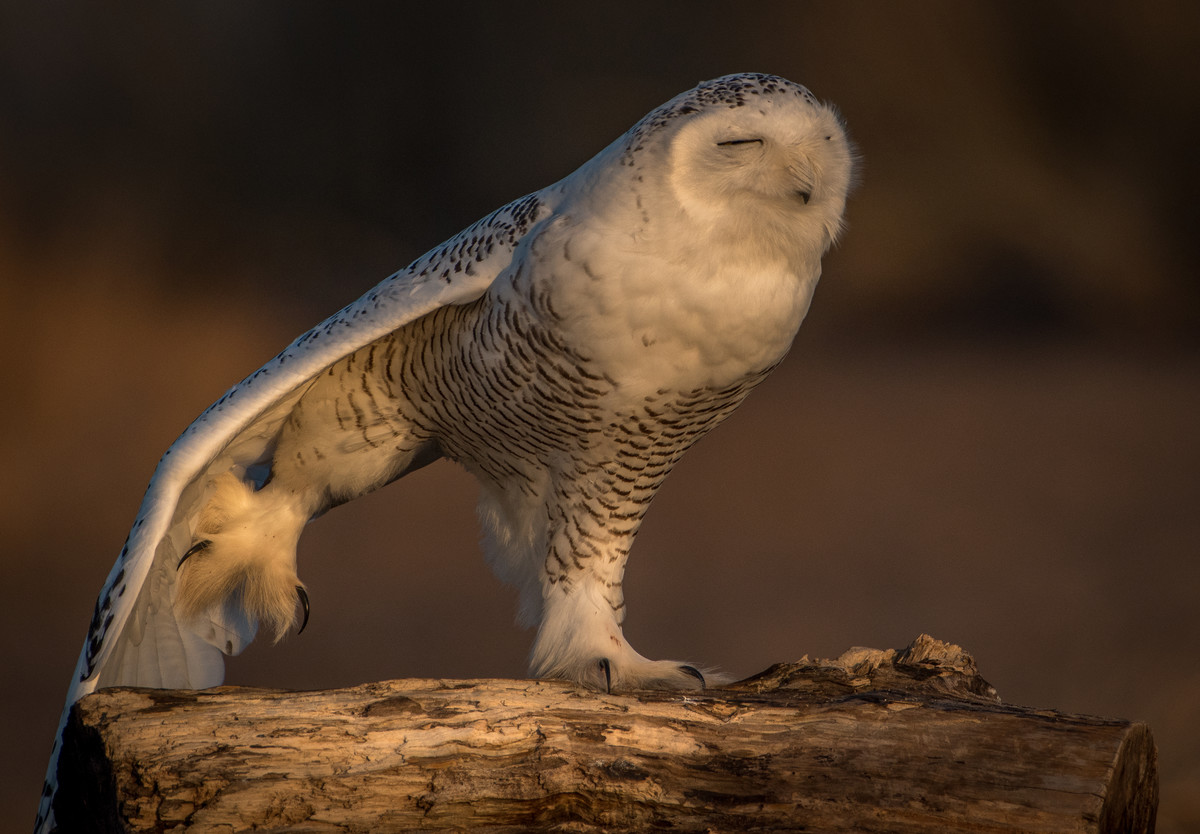 Snowy Owl doing its yoga routine.