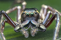 Portrait Of An Awesome Wide-Jawed Jumping Spider
