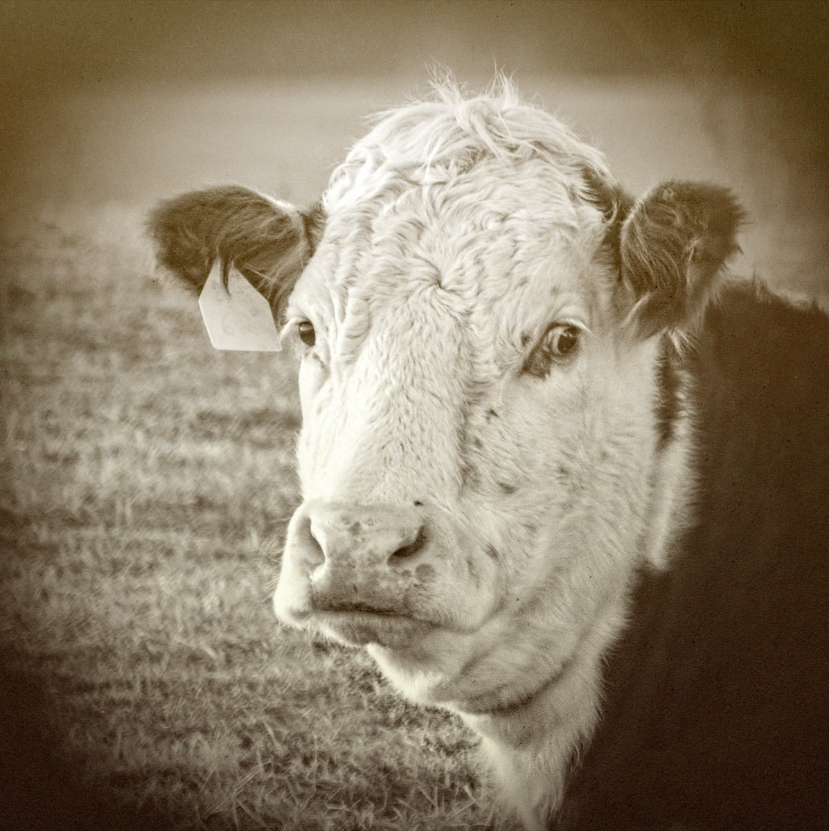 """'for it is said, """"God sends a curst cow short horns,"""" but to a cow too curst, he sends none'"""