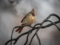 Ice Cardinal!