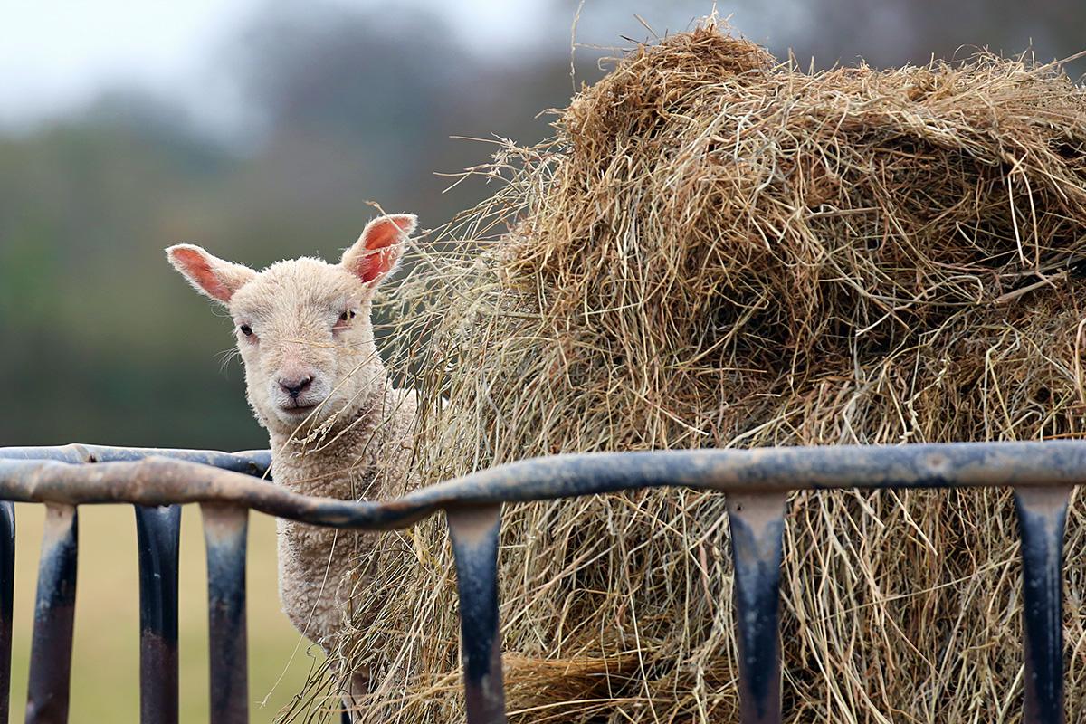 Lamb in a haystack
