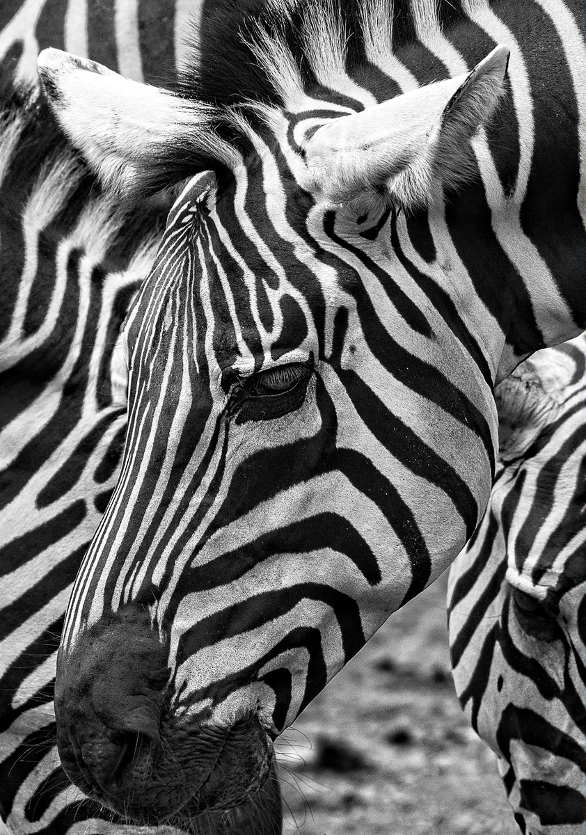 They said I could fill the frame, so I filled it with Zebras.