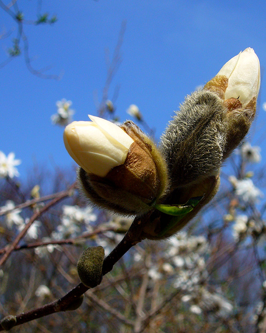 Buds, Blue sky, & Branches