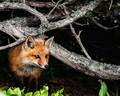 ~  Kit Fox  ~