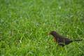 Blackbird with Earthworm