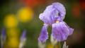 Iris I had more Kodachrome
