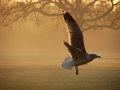 Gull in Gold Fog