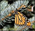 Butterfly on Pine 2