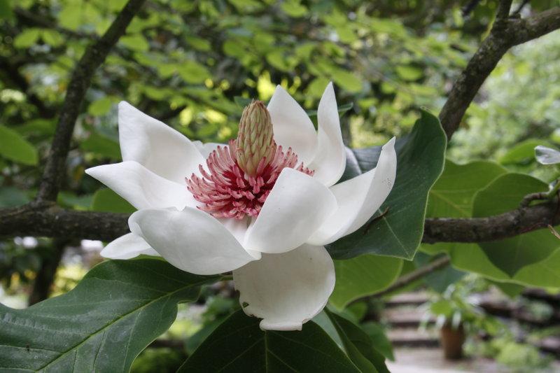 magnolia sieboldii by franktheyank dpchallenge. Black Bedroom Furniture Sets. Home Design Ideas
