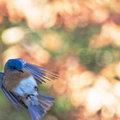 Monet's Bluebird
