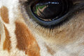 Giraffe - CLOSE up