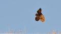 Lanner Falcon  (Falco biarmicus) (PAW 19/52)