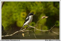 Southern Fiscal Shrike (PAW 25/52)