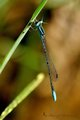 Swamp Bluet (PAW 7/52)