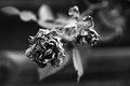 waning rose
