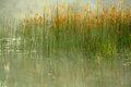 Reeds Watercolor