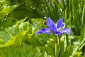 Iris, Scotland