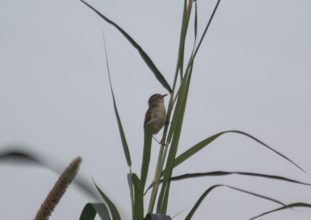 Brown-Shrike