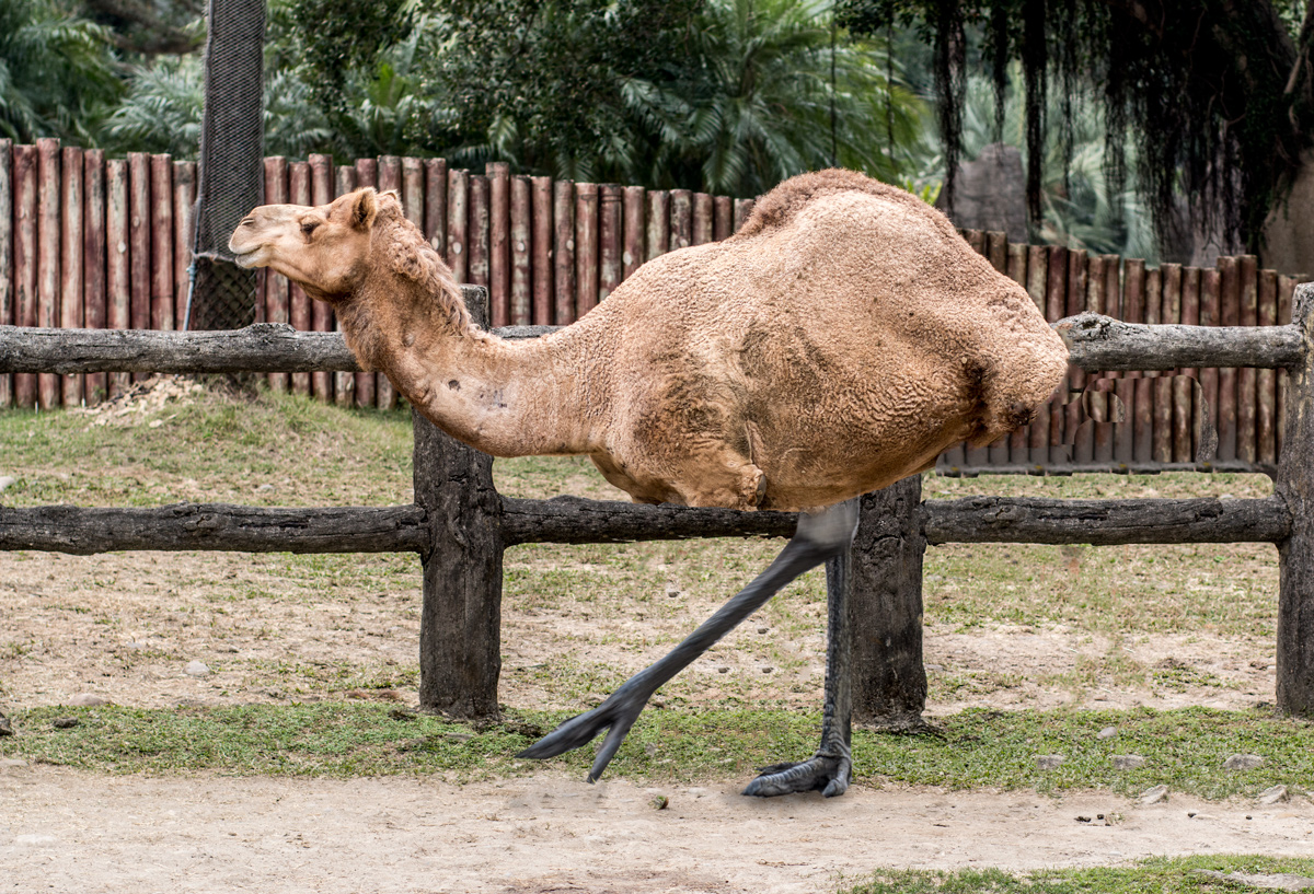 Camel-Emu-small