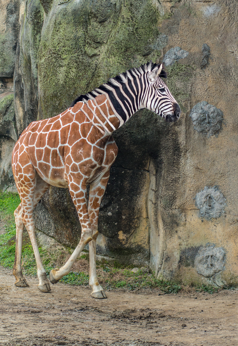 Giraffe-Zebra-small