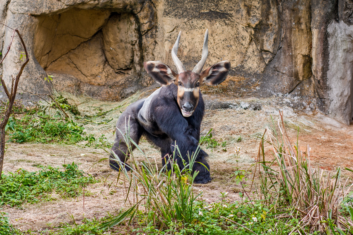 Gorilla-Antilope-small