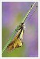Owlfly-dragonfly