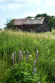 Old barn and Lupines