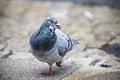 Deb's pigeon