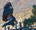 Condor, Big Sur Coast