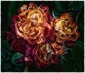 Mission Roses, San Juan Bautista