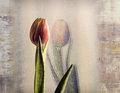 Tulip overlay cal 2