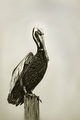 Portrait of a Brown Pelican