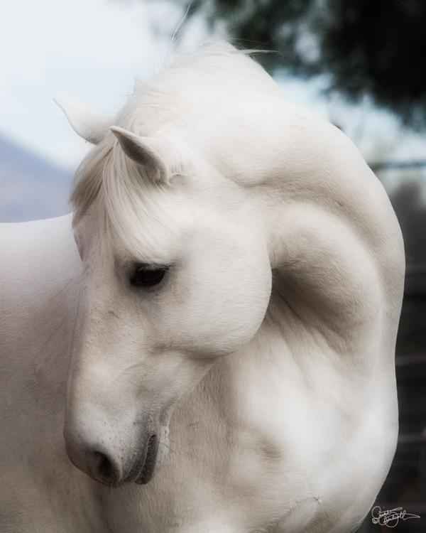 Pooka - Lipizzan Stallion