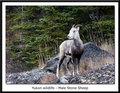 Yukon wildlife - Male Stone Sheep