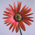 Painted Daisy (square)