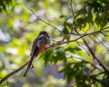 Elegant Trogon - Female
