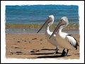 Hervey Bay Pelicans