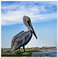 Pelican on the Halifax River