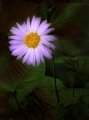 Midnight Daisy