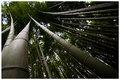 Bamboos of Kyoto