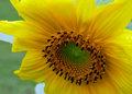 Sunflower_P1000091