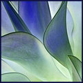 Agave Pearl