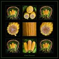 Corn Harvest Collage - Day 9