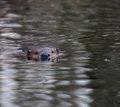 Swimming_Beaver_3.jpg