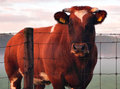 25-10-2014-cow