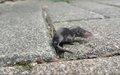 rock shrew